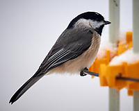 Black-capped Chickadee. Image taken with a Nikon D5 camera and 600 mm f/4 VR lens