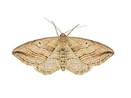 70.046 (1719)<br /> Oblique Carpet - Orthonama vittata