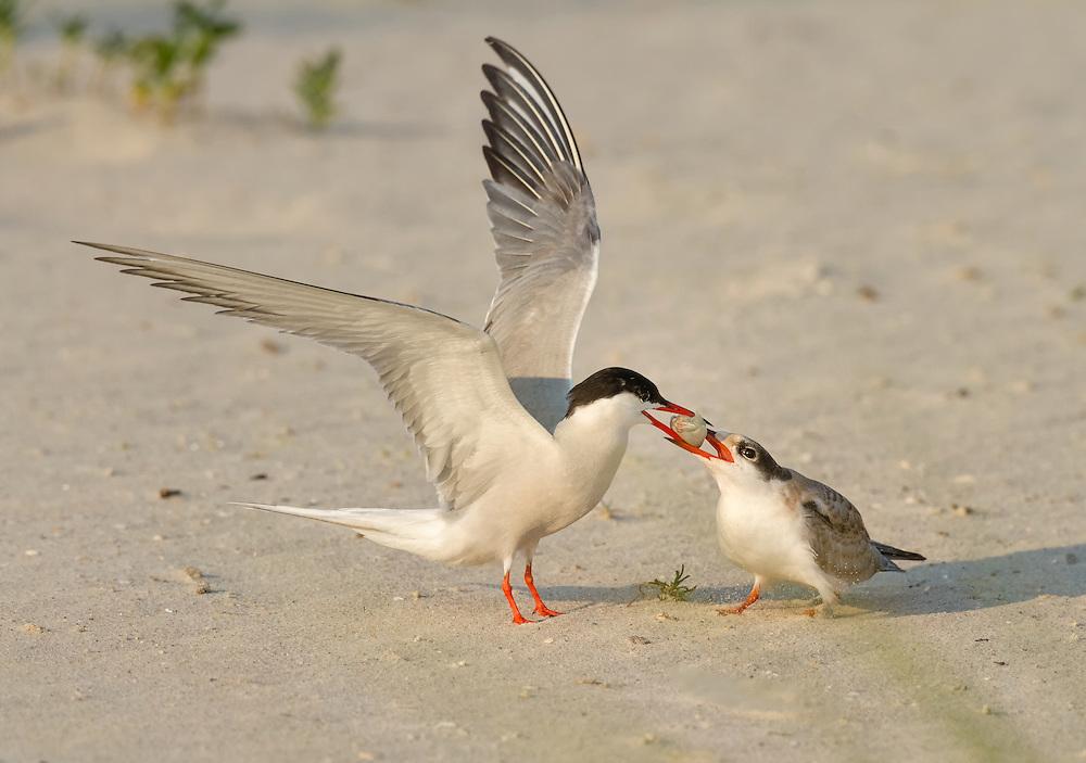 Common Tern (Sterna hirundo), Nickerson Beach