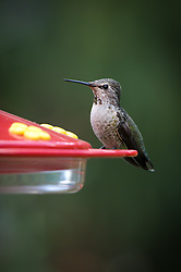 An adult female Anna's hummingbird, Calypte anna, perched at a backyard feeder