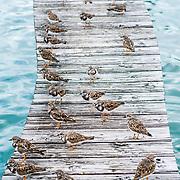 Ruddy Turnstones at Cayman Turtle Farm. Grand Cayman Island.