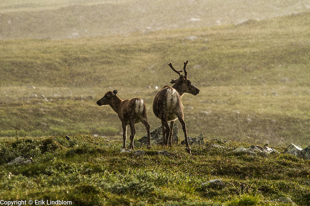 A reindeer mother with her calf standing in the rain.