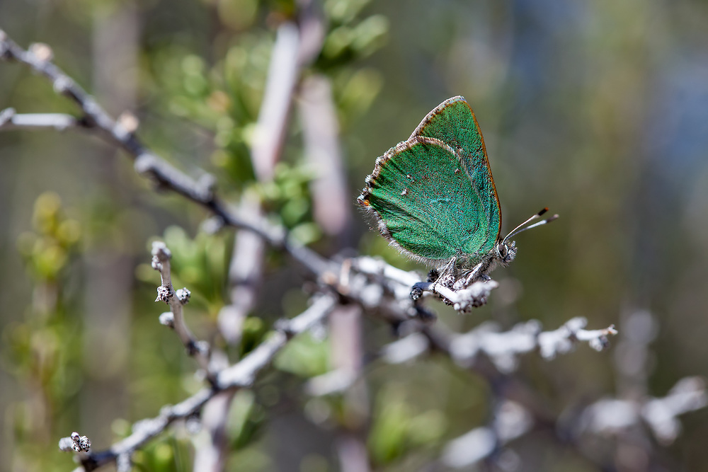 Callophrys d. dumetorum (Lotus Hairstreak) at Big Tujunga, Angeles NF, Los Angeles Co, CA, USA, on 15-Feb-16