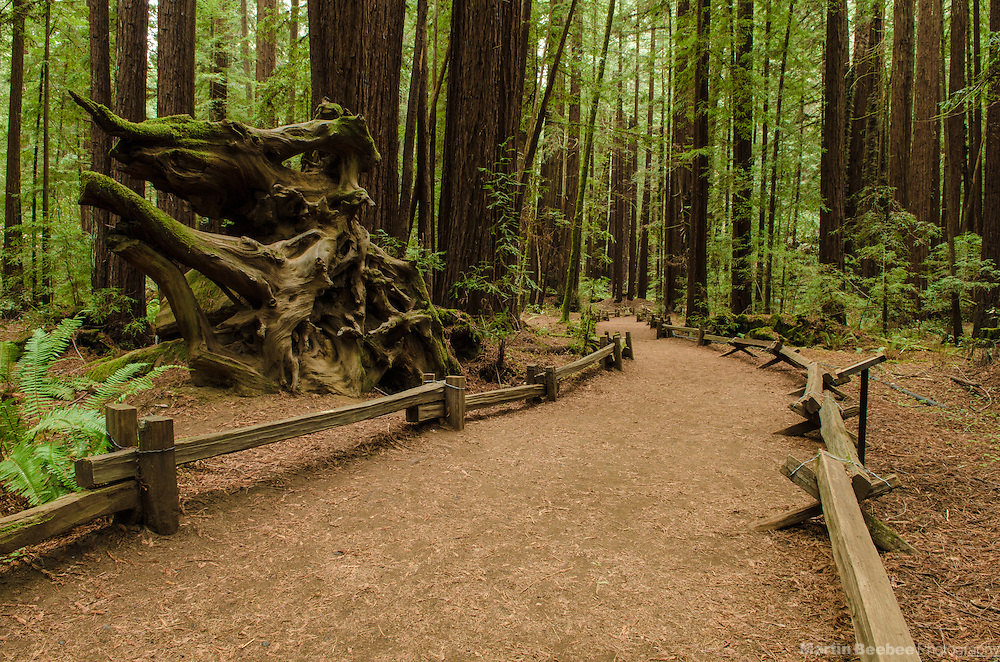 Trail through forest of redwoods (Sequoia sempervirens), Armstrong Redwoods State Natural Reserve, California