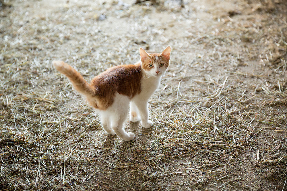 young barn cat standing looking at the camera