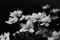 Marsh marigold in black and white.