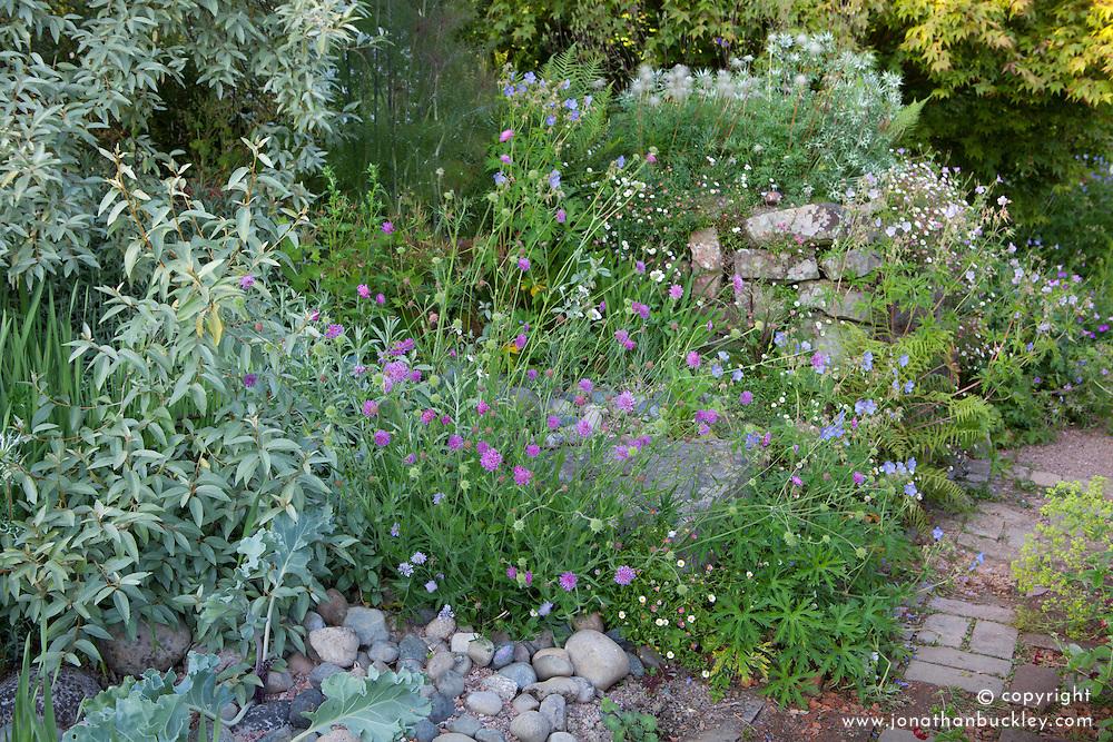 The seaside garden at Glebe Cottage. Elaeagnus 'Quicksilver',  pulsatilla seedheads, scabious, Erigeron karvinskianus - Mexican daisy