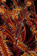 robust ghost pipefish or rough-snout ghostpipefish, Solenostomus cyanopterus, hiding in crinoid, or feather star, Bali, Indonesia