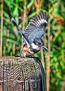 Kingfisher sea bird.
