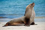 Male Australian Sea Lion (Neophoca cinerea) basks in the sun on the beach in Hopkins Island, South Australia.