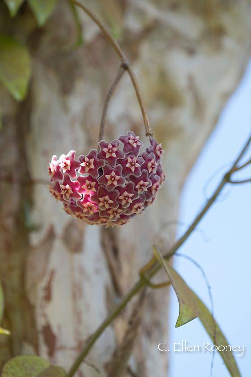 Hoya carnosa (Wax Plant) in the Sunnyside Garden, St. George's, Grenada, West Indies, Caribbean