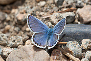 Plebejus fridayi - Friday's Blue