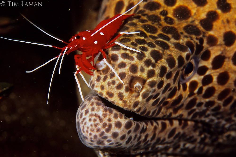 Nostril cleaning service:  A rare Debilius cleaner shrimp cleans a Moray Eel.  Bali, Indonesia.