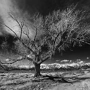 Lone Barren Tree - North Bishop, CA - Infrared Black & White