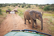 A tug of war ensues as an older sister confronts the vehicle at Loisaba Conservancy, Kenya.