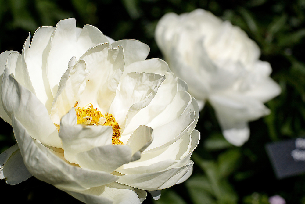 White Peonies in the Arboretum in Minnesota.