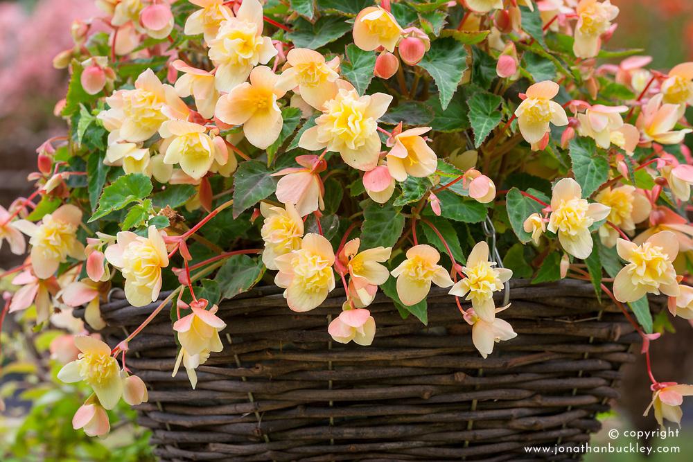 Begonia 'Sherbert Bon Bon'