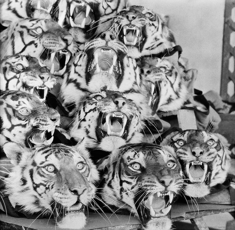Tiger Heads, Van Ingen's Taxidermist Firm, Mysore, India, 1929