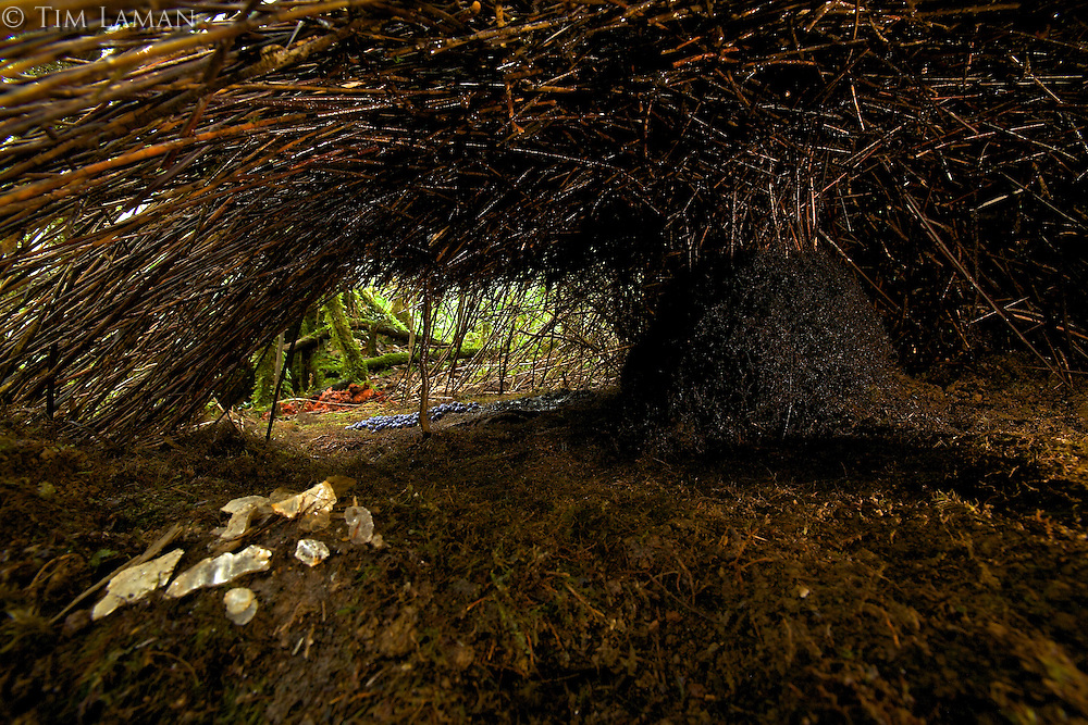 Vogelkopf Bowerbird (Amblyornis inornatus) bower.  View from a back entrance, showing bower interior including pile of mica decorations, and central maypole base covered with black roots.