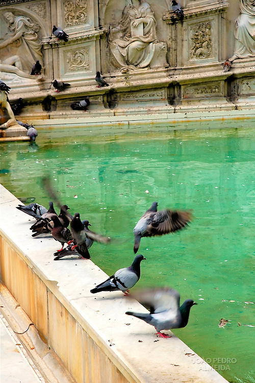 Pigeons by lake at Siena's Piazza del Campo