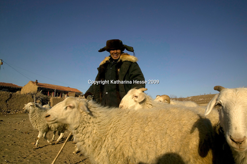 NORTHERN HEBEI PROVINCE, JANUARY 26, 2009:<br /> a sheperd brings his flock home in Mr. Lu's village..<br /> Lu went to Beijing 8 years ago as he couldn't find a job in China's countryside.<br /> He was employed in a textile factory that went banctrupt last October. Lu and his 63 colleagues were still owed payment for 4 months, but their boss refused to pay them. They didn't know the law, nor did any of them have a contract.  <br /> At the end of January, Lu and his co-workers went to see the bosses' mother to negociate, then the union and in the end the government. They were threatened with jail . At the end of the day , a man from the union came by ( on behalf of the government )and all but an underaged worker received their due salaries.<br /> Now Lu is unemployed like 20 milion other migrant workers in China who have been laid off as a result of the financial crisis.<br /> <br /> <br /> China's Communist Party  which will celebrate its 60th anniversary in October, currently faces its biggest challenge since the beginning of the economic reforms 30 years ago  : &quot; The phase of  rapid economic growth is over. For the first time the government is threatened with a  mistrust of a wide section of the population&quot;, warns the Communist party's Shang Dewen in Beijing.   <br /> Not only the China's poorest worry about the furture, but as well China's middle class is concerned about the crisis.     1,5 Millionen university graduates didn't find a job until the end of 2008  and this summer there'll be an additional  6,1 Million new graduates. More than 12 percent of university graduates face unemployment in 2009.