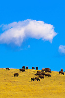 American bison (American buffalo), Custer State Park, Black Hills, South Dakota USA