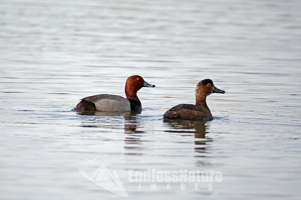 A female and male Redhead ducks swim in open water this bird likes large ponds and open bays to feed in.