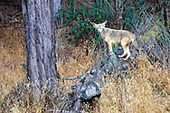 A coyote looks for prey on a hillside atop a log.