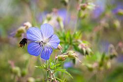 Bee landing on Meadow Cranesbill. Geranium pratense