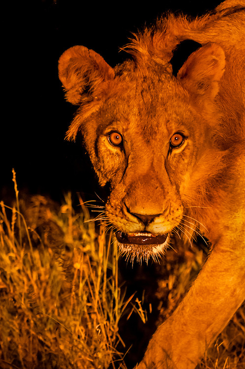 Female lion on the move at night, Linyanti Marshes, Botswana.