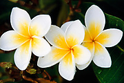 Frangipani flowers after a rain storm. (Plumeria Rubia. - Also know as Plumeria, West Indian Jasmine)
