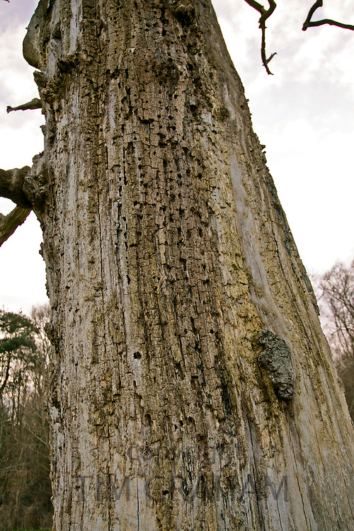 Bark of dead Elm tree, Sherbourne, Gloucestershire, United Kingdom