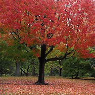 A maple tree showing off its autumn colors; Central Park, New York City.
