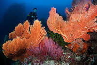 Diver, Sea Fans, and Whip Corals<br /> <br /> shot in Indonesia