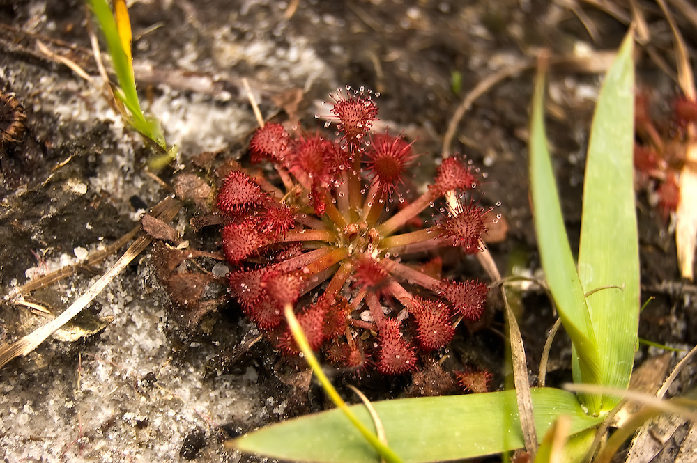 The tiny and beautiful pink sundew has many leaves with sticky pads arranged in a rosette. These sticky sweet drops of muscilage attract flying insects that become trapped and then are slowly digested by the plant.