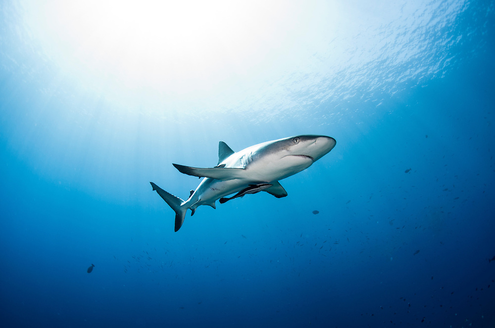 A grey reef shark on a coral reef in Kimbe Bay, Papua New Guinea