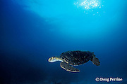 green sea turtle, Chelonia mydas, Galapagos Islands, Ecuador, ( Eastern Pacific Ocean )