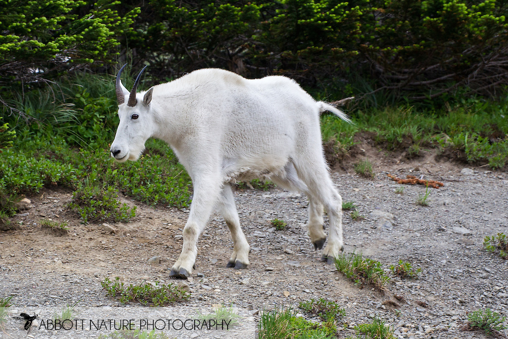 Mountain Goat (Oreamnos americanus)<br /> MONTANA: Glacier Co.<br /> Glacier National Park<br /> Logan Pass along Going to the Sun Road<br /> 24-July-2012<br /> J.C. Abbott &amp; K.K. Abbott