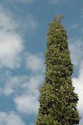 Cupressus Sempervirens L, Italian cypress