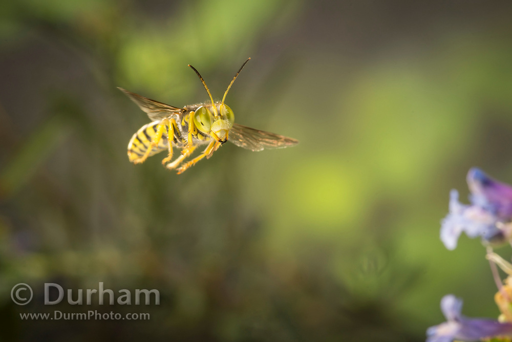 What appears to be a beetle wasp (Cerceris sp) in flight in Central Oregon. © Michael Durham.