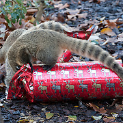 Christmas for the Meerkats at London Zoo