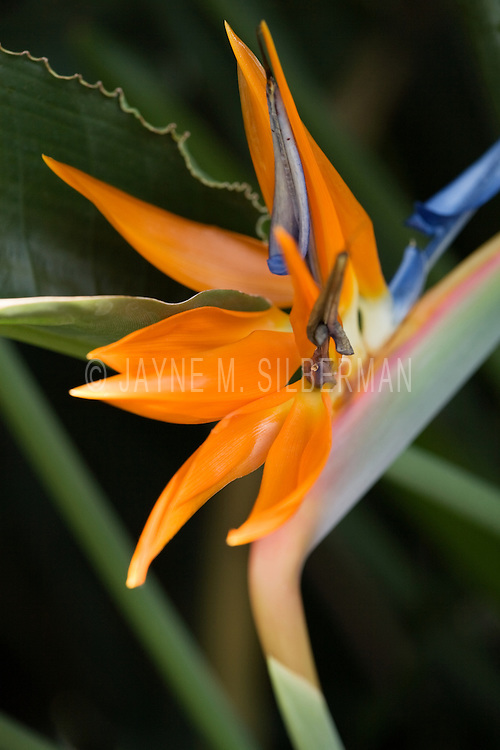 A single Bird of Paradise flower amidst dark leaves shows off its unique detail.