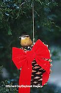 01323-00705 Carolina Wren (Thryothorus ludovicianus) on pine cone in winter Marion Co. IL