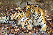 Bengal Tiger<br /> Panthera tigris <br /> Mother grooming eight week old cub at den <br /> Bandhavgarh National Park, India<br /> *digitally removed foliage in foreground