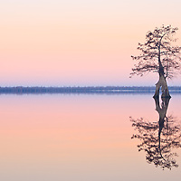 Image of a lone bald cypress (Taxodium distichum) growing in Lake Drummond silhoutted against morning civil twilight, Great Dismal Swamp National Wildlife Refuge, Virginia.  Lake Drummond is one of two natural lakes in Virginia.