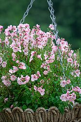 Diascia Little Maiden syn 'Penmaid'