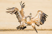 Fighting White-Backed Vultures, Kgalagadi Tranfrontier Park, Northern Cape, South Africa