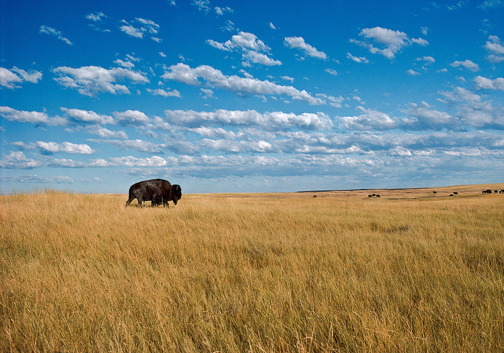 Buffalo on prairie, Great Plains , South Dakota. Badlands National Park, established in 1978