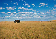 Buffalo on prairie, Great Plains , South Dakota. Badlands National Park, established in 1978