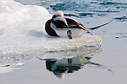 Long-tailed Duck, Clangula hyemalis, St. Clair River, Michigan
